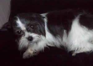 Mi-Ki Breeder with Puppies for Sale in South Bend IN | My